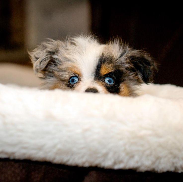 cute toy australian shepherd puppy - @mishabarkton #puppies #puppy #dog #cutepuppies #puppygram #cutepuppy #pups #pup #love #bae #cutepet #doglover #pet #australianshepherd #dogmodel #adorable #puppymodel #puppyoftheday #dogoftheday #cute #happy #mishabarkton #toyaussie #miniaussie #toypuppy #aussie #blueeyes #bluemerle