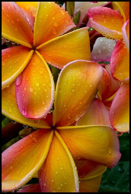 Frangipani apricot rain drops • aka Plumeria ~ photo: Sheba_Also on Flickr