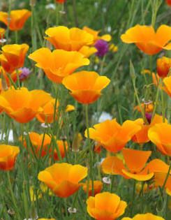 California Poppies.....a favorite pop of color in the garden.
