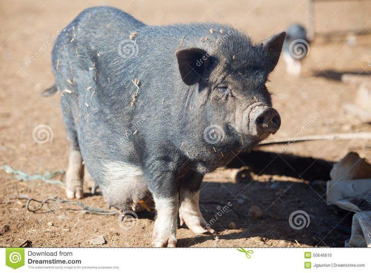 Vietnamese Pot-bellied female pig on the organic farm