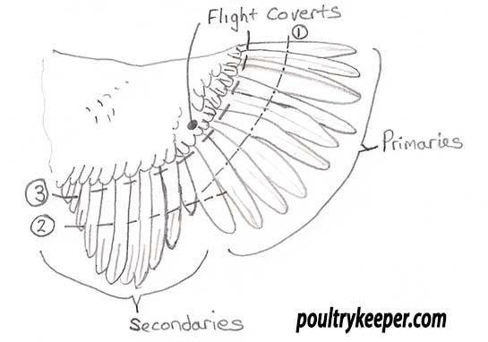 chicken wings chicken wing diagram chicken