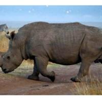 El rinoceronte negro, oficialmente extinto