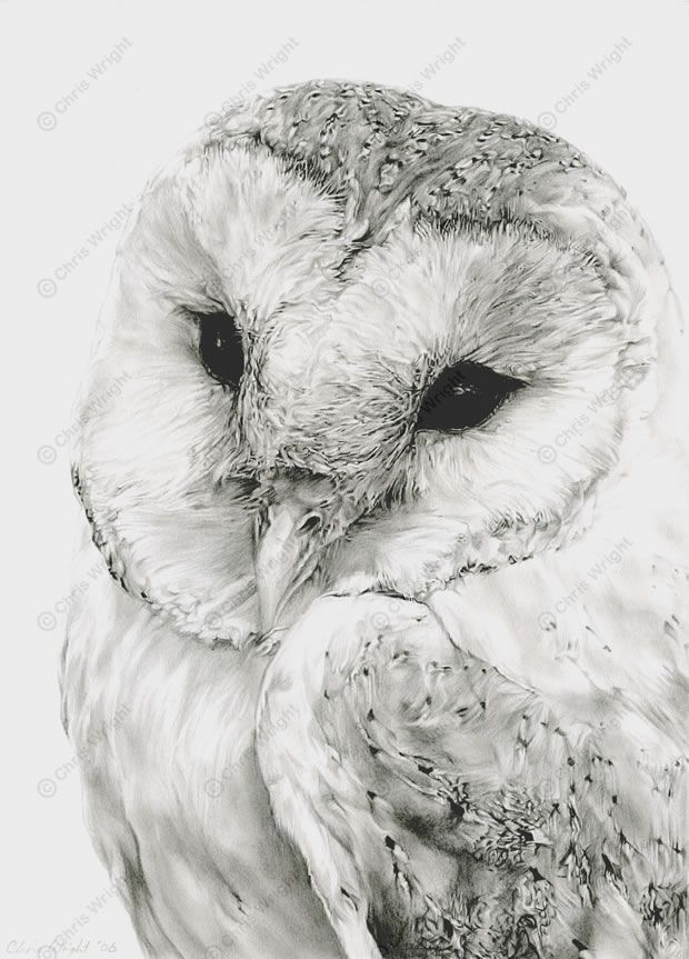 Owl Drawings | barn owl sketches pencil drawings wildlife ...