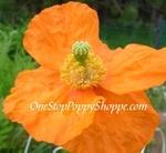 Poppy Flower Seeds - Everblooming Atlanticum Poppies