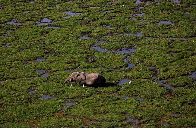 Slon v bažině v národním parku v Keni, 8. srpna 2015