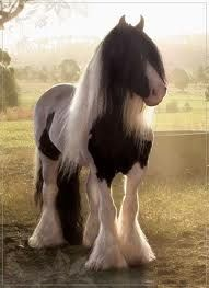 Cobs are beautiful horses.  They look like they belong in a fantasy.: Gypsy Watering, Beauty Hors Baby, Cob Hors, Gypsy Hors, Drafting Hors, Hors And Ponies, Hors Gypsy Cobb, Beauty Horses, Dream Out