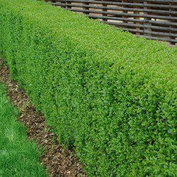 Privet is a classic evergreen hedge choice and thrives in sun or shade, is fast growing and provides cover of glossy box-like leaves. Normally evergreen but may loose some foliage leaves in very cold winters.