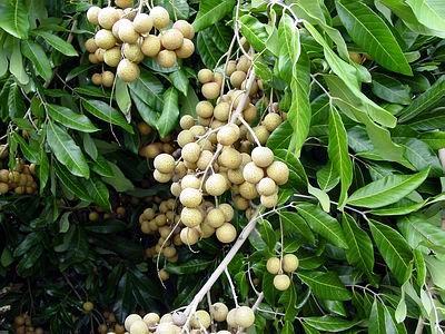 Longan fruit dragon eye fruit tree fruitas pinterest for Ambarella cambodian cuisine