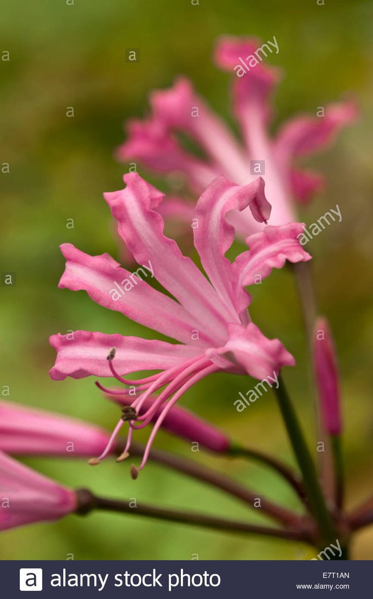 23 best nerine images on pinterest guernsey lilies and lily httpc8amycompe7t1anguernsey mightylinksfo Gallery