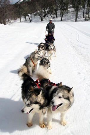 Content Siberian huskies, Termas de Chillan ski resort.
