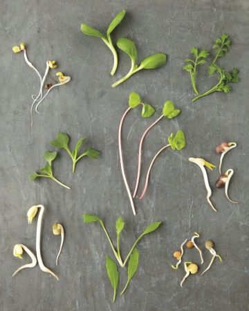 grow microgreens and sprouts at home - even during winter!