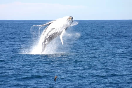 A HUMPBACK WHALE BREACHING IS A COMMON SIGHT ON A WHALE WATCH CRUISE WITH MOONSHADOW CRUISES IN PORT STEPHENS