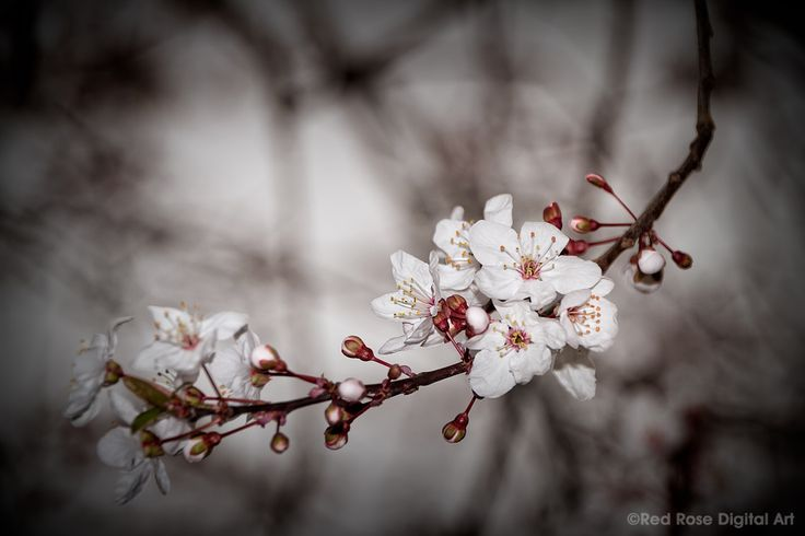 Spring Crab Apple. A close-up of a spray of crab apple blossoms. Photographed by #redrosedigitalart. From http://www.redrosedigitalart.com