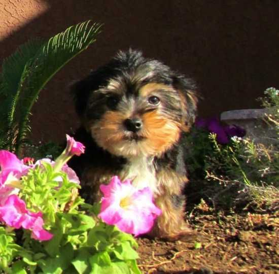 17 Best Ideas About Yorkie Puppies For Adoption On