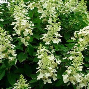 Hydrangea paniculata 'Grandiflora' | Fine Gardening