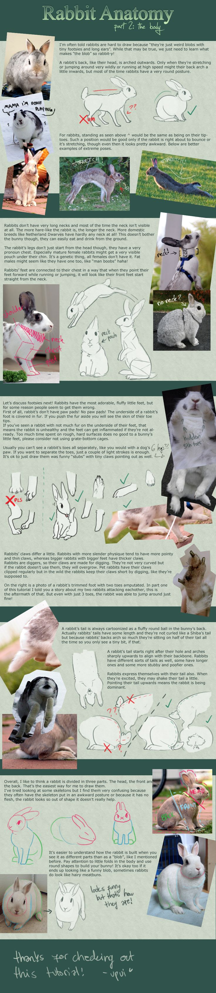 Rabbit Anatomy / Part 2: the body by upui