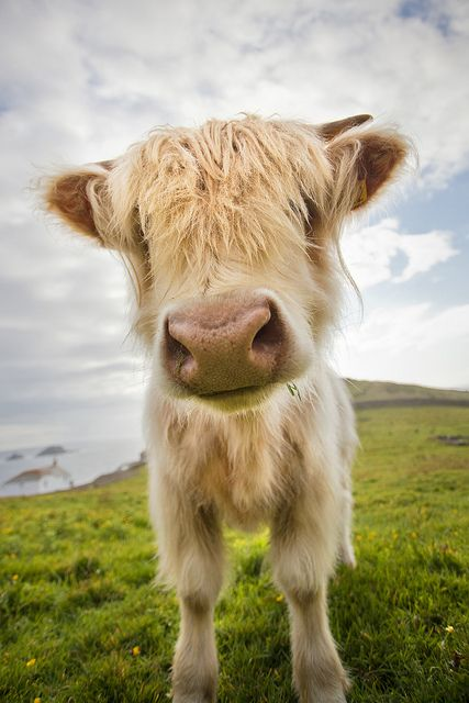 Scottish highland cow.