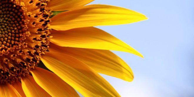 12 Gambar Bunga Matahari Yang Indah   FreshTure.com