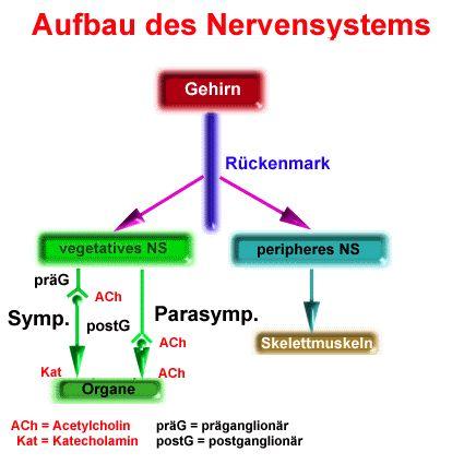 3.4.1 Parasympathicus, Sympaticus, Steuerung der Organtätigkeit, Wirkung von Medikamenten  Das vegetative Nervensystem ist das System der meist motorischen Neuronen, das Drüsen, glatte Muskel…