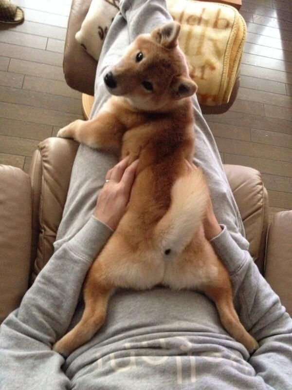 Try & tell me you wouldn't love this lil bushy butt #Shiba