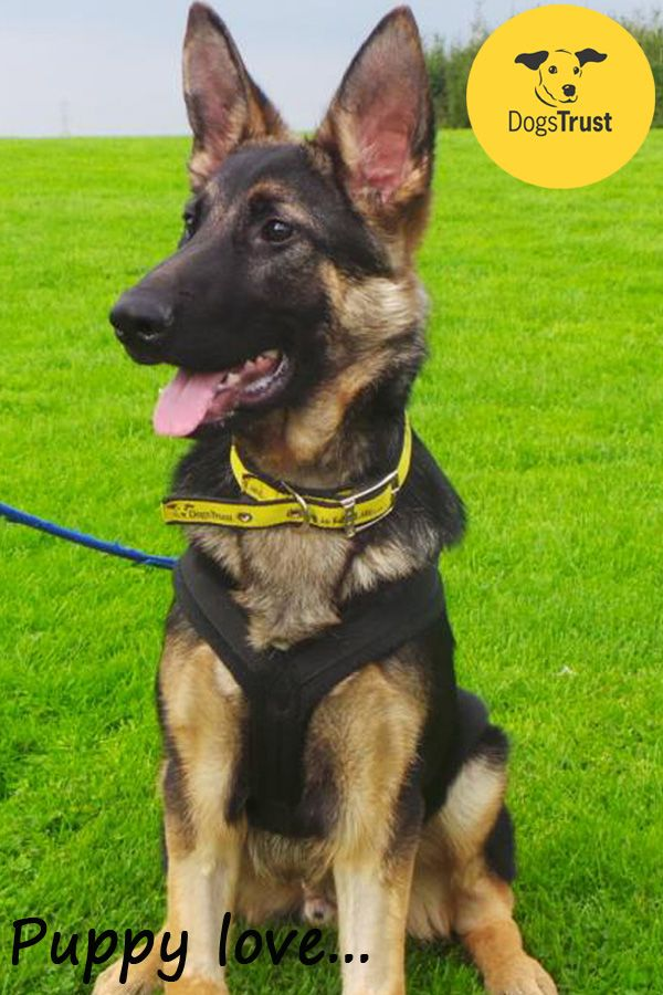 Chester is a very cute German Shepherd puppy at Dogs Trust Leeds. To view all our dogs looking for their forever homes, please visit www.dogstrust.org.uk