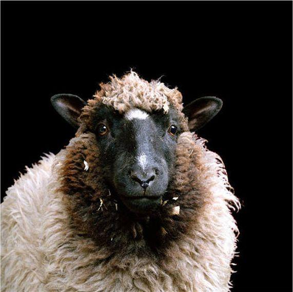 Sheep beauty