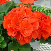 The ' Americana™ Coral' Geranium Plant bears 4-5 inch, full flower heads atop typical geranium-type leaves that are a dark, olive-green. Description from gardenharvestsupply.com. I searched for this on bing.com/images