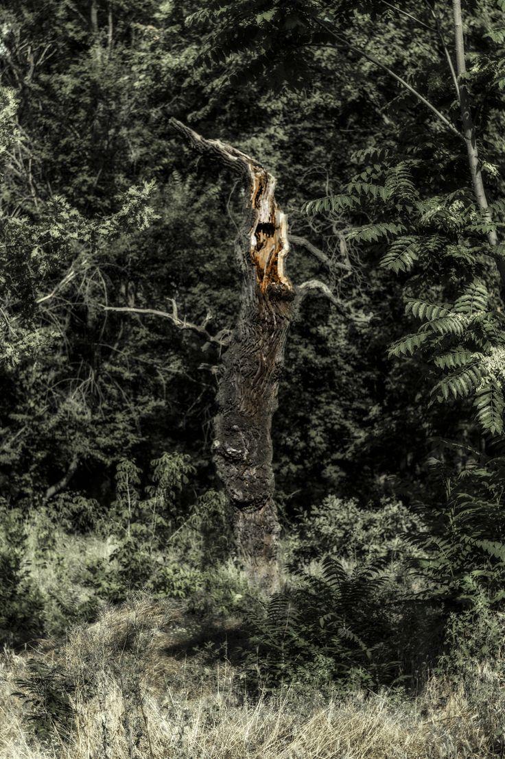 https://flic.kr/p/VsToxh | Etude #170712DSC3944. | Dying oak in the floodplain of the Dnieper.