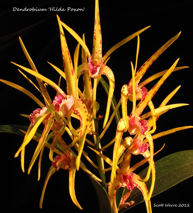 how to grow australian native orchids