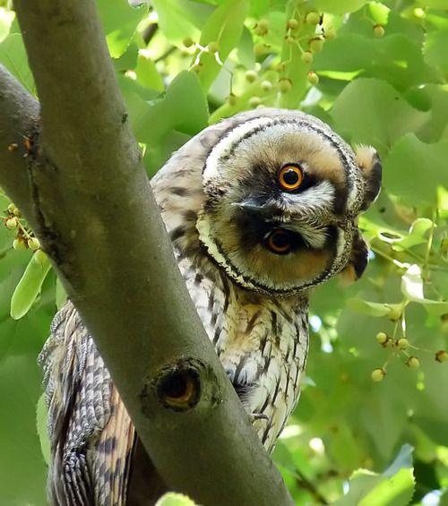 Amazing Stuff, Amazing Pictures, Owls Curio, Owls Hoot, Creatures, Birds, Longear Owls, Animal, Feathers Friends