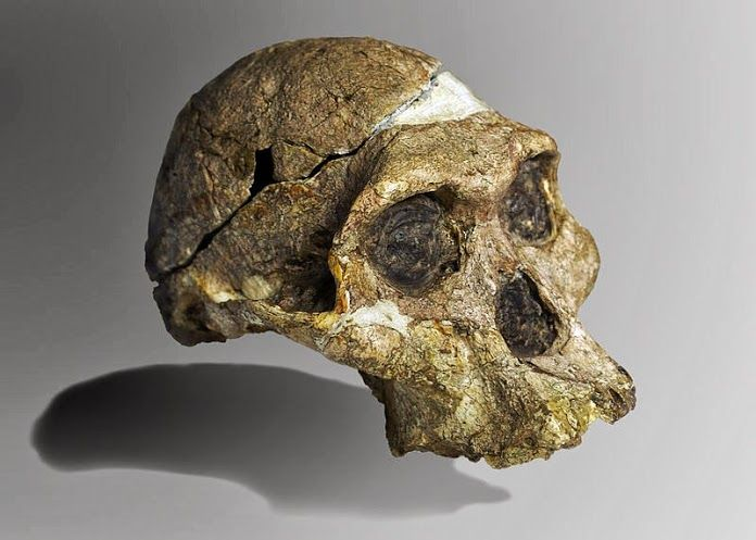 The original complete skull (without upper teeth and mandible) of a 2.1 million year old Australopithecus africanus specimen so-called Mrs. Ples, discovered in the Sterkfontein Caves in South Africa.