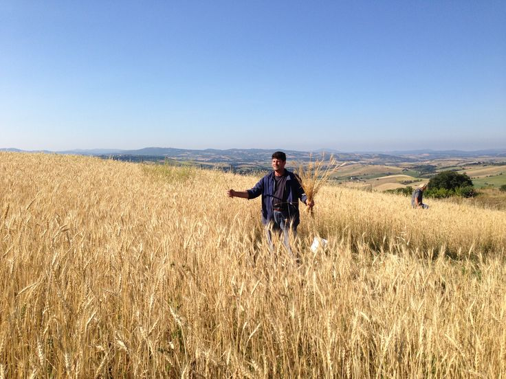 Mietitura per la riproduzione del seme del grano tenero varietà Risciola, in uso nell'800 per la panificazione a pasta acida.