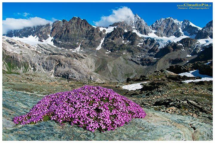 Silene acaulis, fiori di montagna, alpini, fotografia, foto, alpine flowers