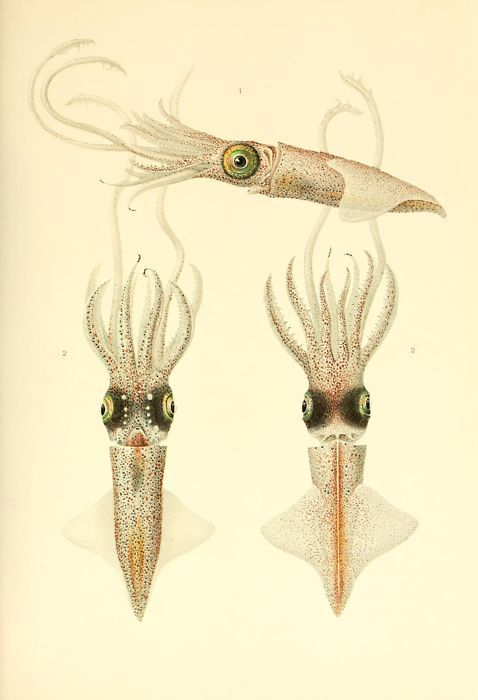 mirrormaskcamera:  Abraliopsis morisii (mature female) (via BibliOdyssey: The Cephalopoda)
