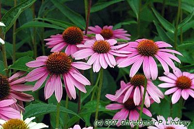 29 best native plants for garden images on pinterest. Black Bedroom Furniture Sets. Home Design Ideas