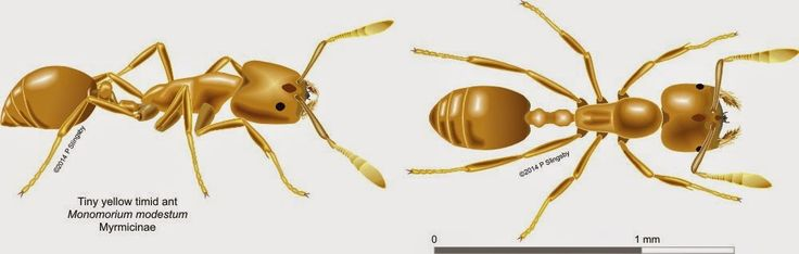 - Ants of Southern Africa -: Monomorium species : Pharaoh ants and Timid ants