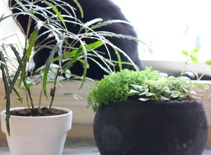 21 best images about pet friendly plants on pinterest cats ceramic planters and snake plant. Black Bedroom Furniture Sets. Home Design Ideas