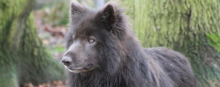 Blue Bay Shepherd et Timber Shepherd, élevage legend of Darkness