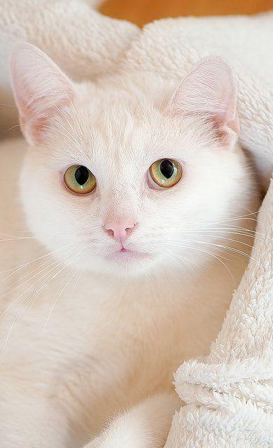 Gato Blanco - #Cats