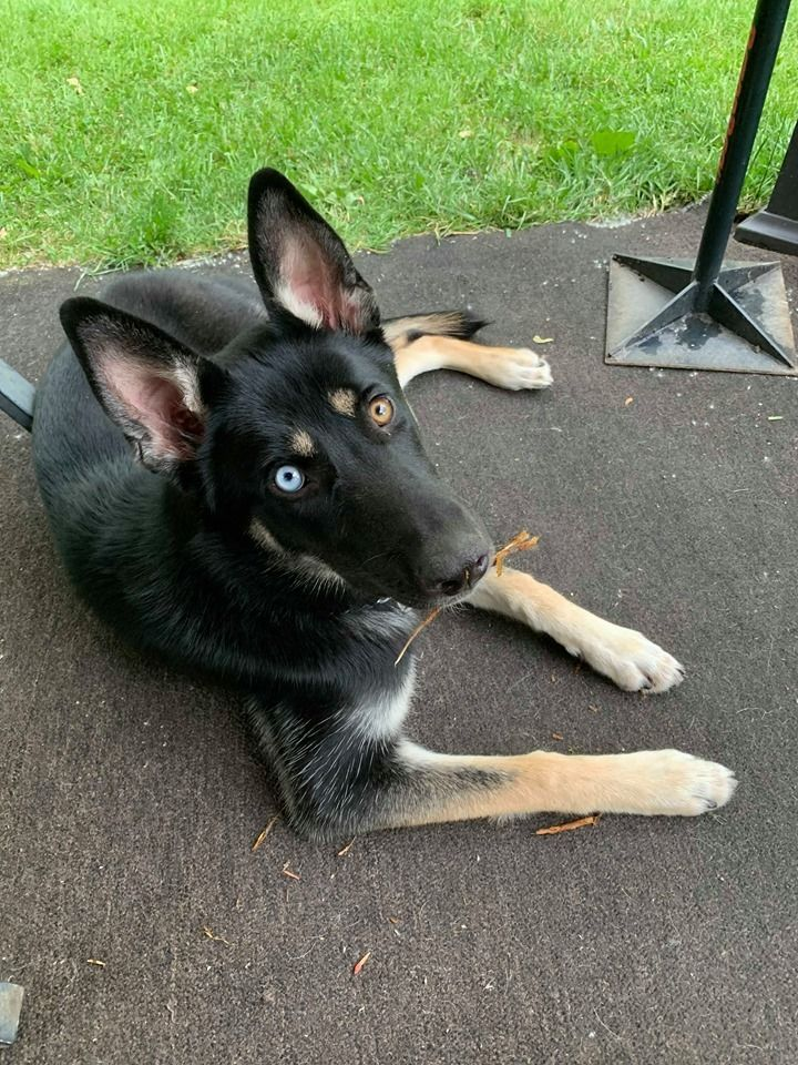 Adopt Sky On Dogs Dogs Up For Adoption German Shepherd Dogs