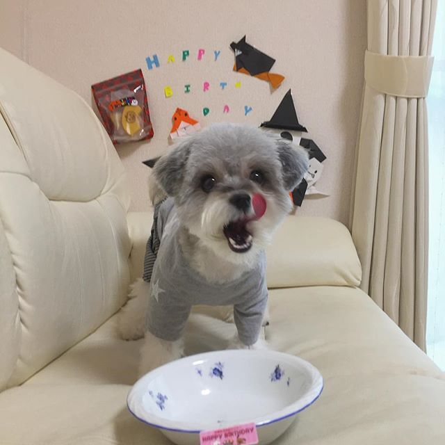 ・ ・ うんまかった!!! ・ もうないの…??😭😭 ・ 似たような写真ばっかりでごめんなさい✋ ・ ・ #愛犬#犬#ちわまる#チワマル#ミックス犬#チワワミックス#マルチーズミックス#可愛い犬#家族#いぬすたぐらむ#わんすたぐらむ#誕生日#お腹いっぱい#1歳誕生日#0905