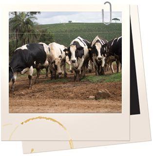Com cerca de 1,4 mil vacas holandesas puras em lactação, ou seja, produzindo leite, possuímos o maior rebanho holandês do Brasil. Todos os n...