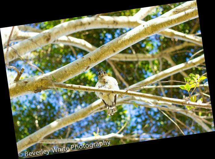 Kookaburra in focus