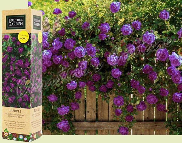 1 Spring Purple Fragrant Climbing / Tannacht Rose Flower Bare Rooted Plant  Shrub