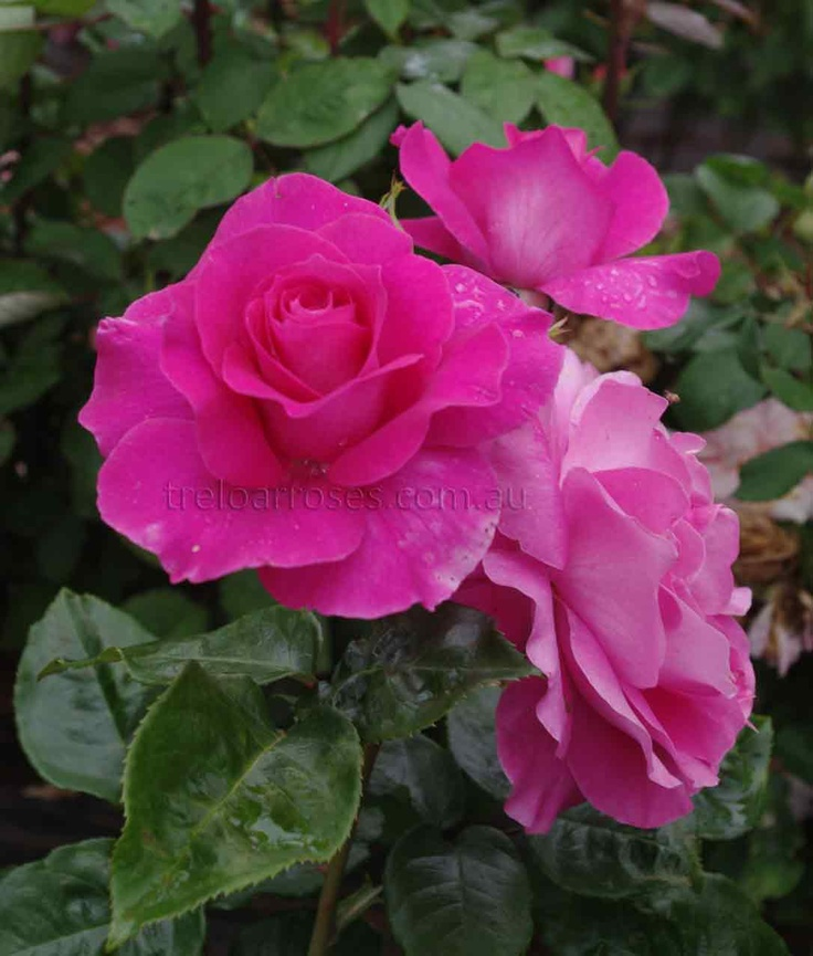 17 best images about romantica roses from the house of for Rose meilland