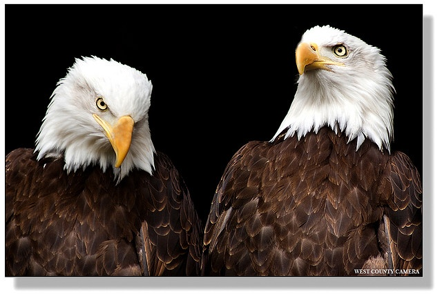Bald Eagles captured by West County Camera near Coombs on Vancouver Island