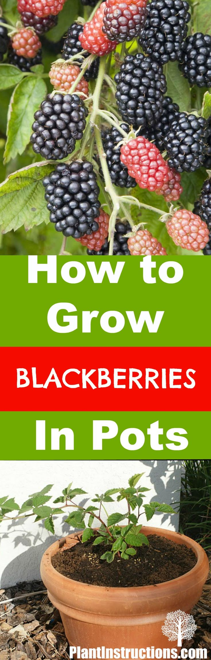 best 20 growing blackberries ideas on pinterest blackberry bush raspberry tree and raspberry. Black Bedroom Furniture Sets. Home Design Ideas