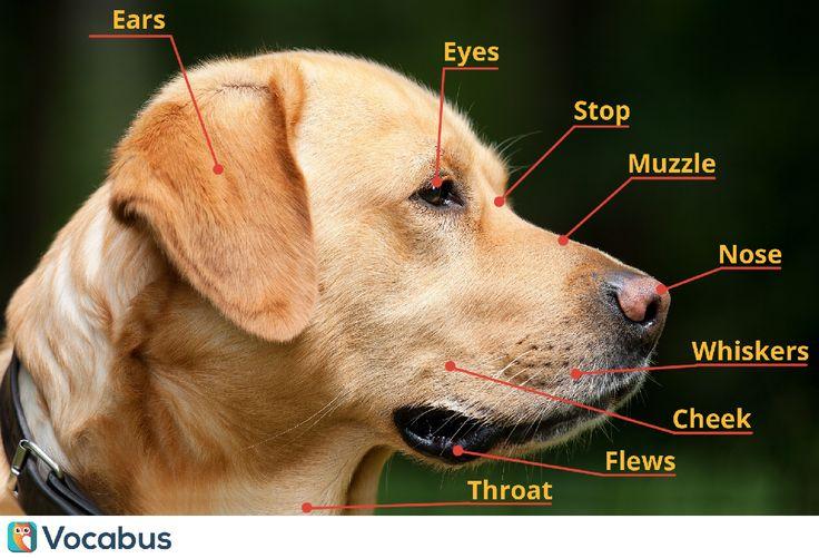 Psy są fajne! Naucz się kilku słówek związanych z anatmią psa :) ears - uszy eyes - oczy stop - przełom czołowy muzzle - pysk nose - nos cheek - policzki whiskers - wąsy flews - warki/fafle throat - gardło