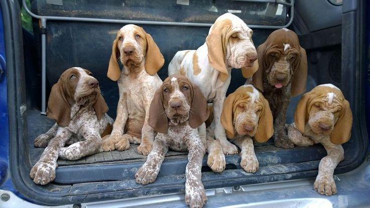 """Grazie a tutti per aver partecipato al concorso """"Cane del mese"""". Marzo è stato vinto da @bidicasademauro con questa foto con 7 cuccioli di Bracco Italiano con i nomi dei colori dell'arcobaleno. La foto è stata selezionata come sfondo per la home page di BauSocial #BauSocial Follow: @miaosocial @areacmilano @bidicasademauro #Puglia #Trani #braccoitaliano #milano #bracco #puppy #puppies #love #dog #cane #cani #beautiful #dogs #italia #amazing #photooftheday #bestoftheday #tbt #happy #friends…"""