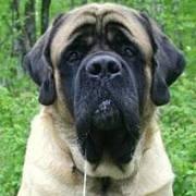 Love Mastiffs!!!